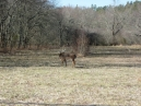 Cades Cove - let's just say the deer are tame here, and more numerous than cattle