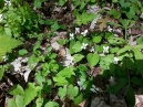 more Northern White Violets