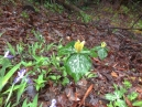 Yellow Trillium and a great picture with the messed up camera