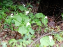 more White Trillium; flowers are everywhere and a photo can't capture one's immersion in them