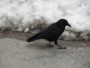 a tame crow begging for handouts